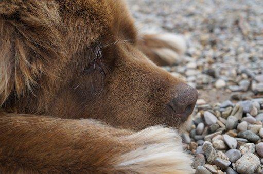 Dog, Animal, Newfoundland, Chocolate, Fur