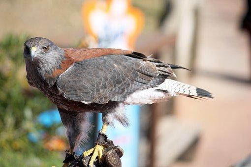 Eagle, Ave, Bird Of Prey, Birds Of Prey, Bird, Feathers