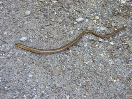 Slow Worm, Lizard, Nature, Animals, Animal World, Crawl