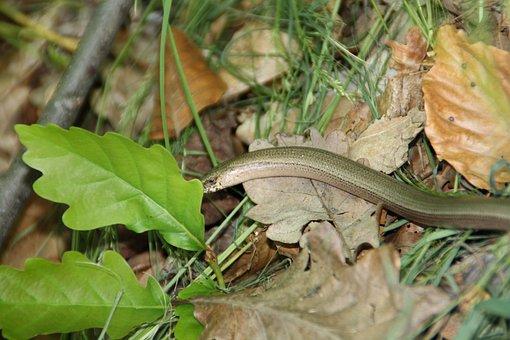 Slow Worm, Snake, Animal, Oak