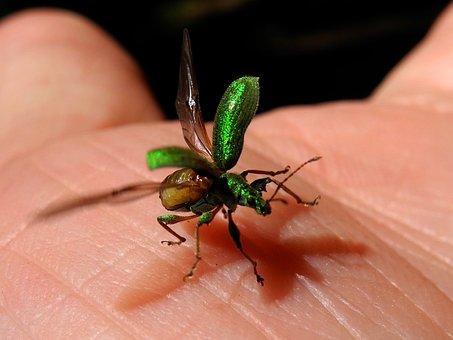Beetle, Elytra, Green