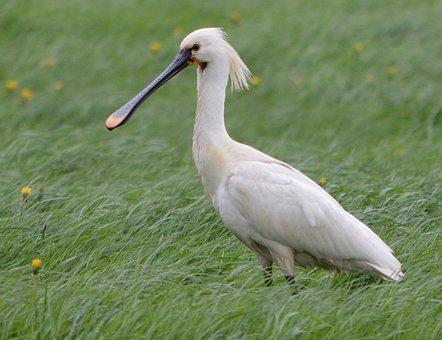 Spoonbill, Bird, Nature, White, Water, Wild, Beak, Bill
