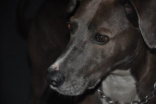 Dog, Black, Animal, Pet, Seriousness, Weinmaraner