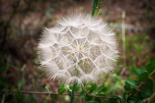 Blowball, Dandelion, Spring, Seeds, Wild Flower, Plant
