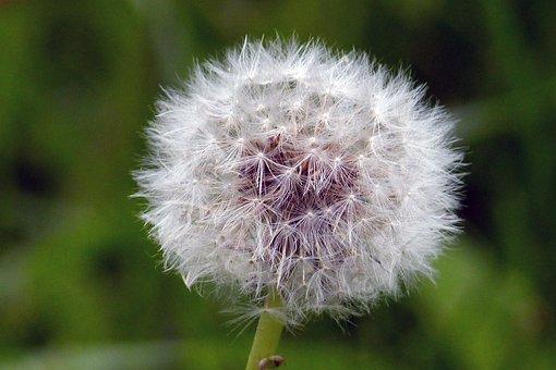 Dandelion, Flower, Blowball, Flora, Floral, Flying