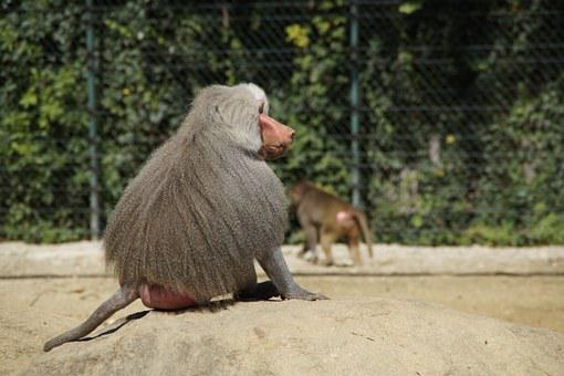 Baboon, Monkey, Old, Grey Back, Sit, Watch, Chef, Zoo