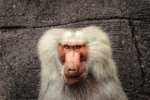 Baboon, Papio, Hamadryas, Monkey, Old World Monkey