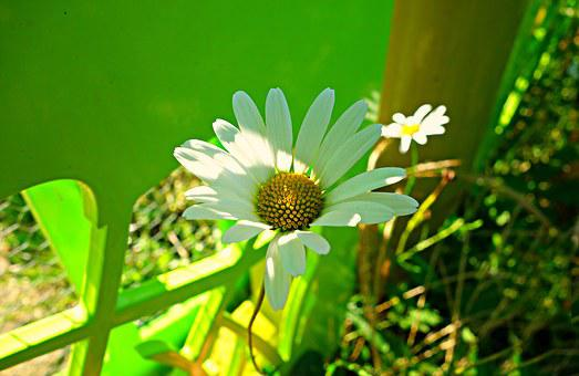 Oxeye Daisy, Daisy, Flower, Blossom, Blooming, Plant