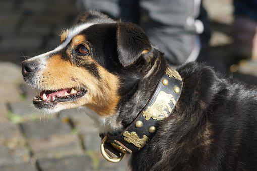 Cattle Show, Dog, Appenzeller, Bless, Blaess