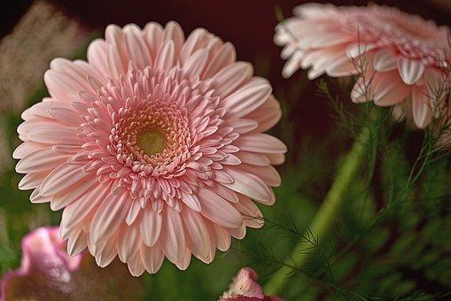 Gerberas, Flowers, Cut Flowers, Garden Flowers