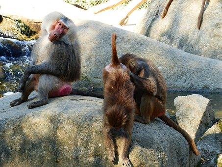 Baboon, Hamadryas, Primates, Old World Monkey, Monkey