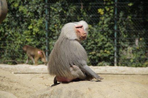 Baboon, Monkey, Old, Grey Back, Sit, Watch, Chef, Zoo