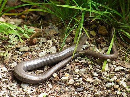 Slow Worm, Anguis Fragilis, Reptile, Lizard, Animal