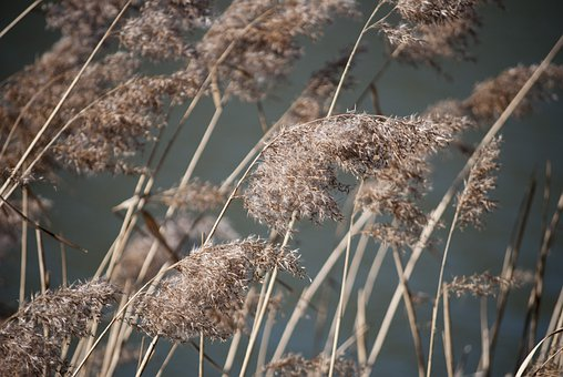 Grass, Dry, Brown, Seeds, Reed, Bank