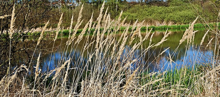 Reeds, Dry, Water, Pond, South Bohemia, Water Surface
