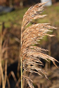 Grass, Reed, Nature, Dry