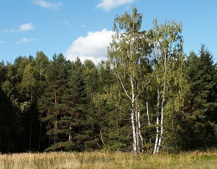 Forest, Birch, Dry Reed, Sky, Summer, Landscape, Tree