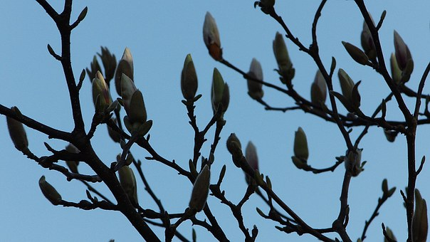Magnolia, Spring, Blossom, Bloom, Garden, Tree, Nature