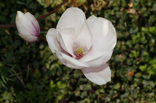 Tulip Tree, Tulip Magnolia, Alba Superba