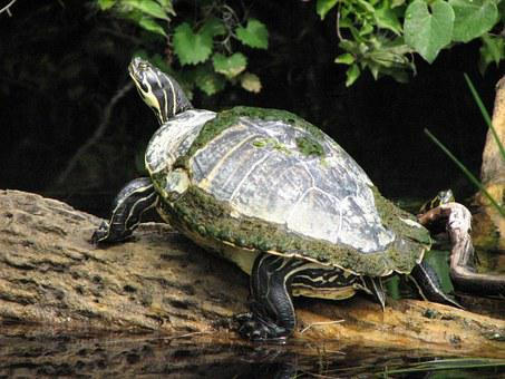 Turtle, River, Water, Three