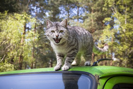 Cat, Grey, Domestic Cat, Mieze, Attack, Auto, Car Roof