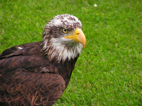 Bald Eagle, Head, Mláďě, Predator, Bird, Eagle, Beak