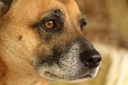 Dog, Mutt, Crossbreed, Canine, Puppy, Grey, Red, Brown