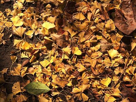 Fallen Leaves, Yellow Leaves, Gingko Tree