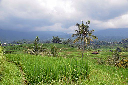 Bali, Indonesia, Travel, Rice Terraces, Panorama