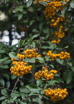 Berries, Yellow, Berry, Nature, Decoration, Leaf, Fruit