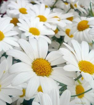 Daisies, White, Flowers, Petals, Floral, Blossoms