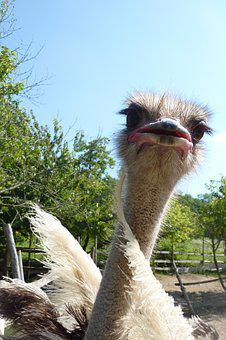 Ostrich, The Head Of The Animal, Bird, Animals