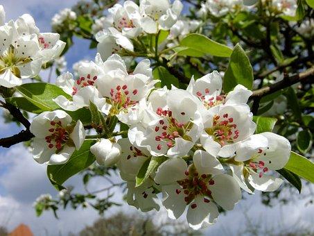 Pear, Pear Blossom, Spring, Blossom, Bloom, Blossom