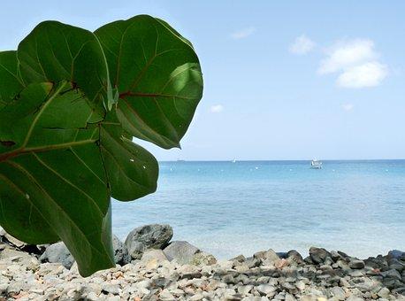 Grape Tree, Leaves, Caribbean, Island, Vacation