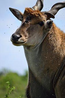 Eland, Nairobi, Nairobi National Park, Kenya, Africa