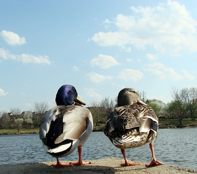 Ducks, Male, Female, Water, Looking Right, Nature