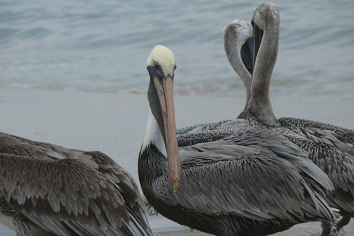 Acapulco, Ocean, Mexico, Pelikan, Water, Sand, Birds
