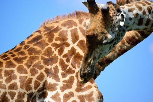 Giraffe, Safari, Africa, Nairobi, National Park, Kenya