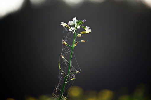 Blossom, Bloom, Flower, Oil Radish, White Blossom, Bees