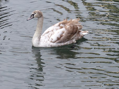 Mute Swan, Teen, Brown, River Leek, Colmar
