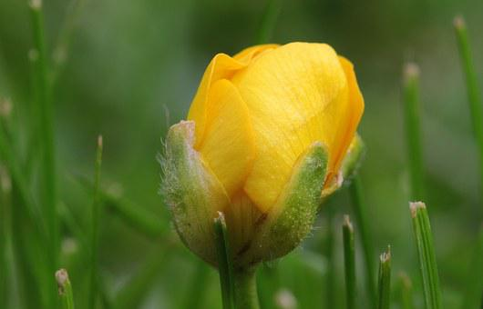 Sharp Buttercup, Ranunculus Acris, Buttercup, Bud, Open
