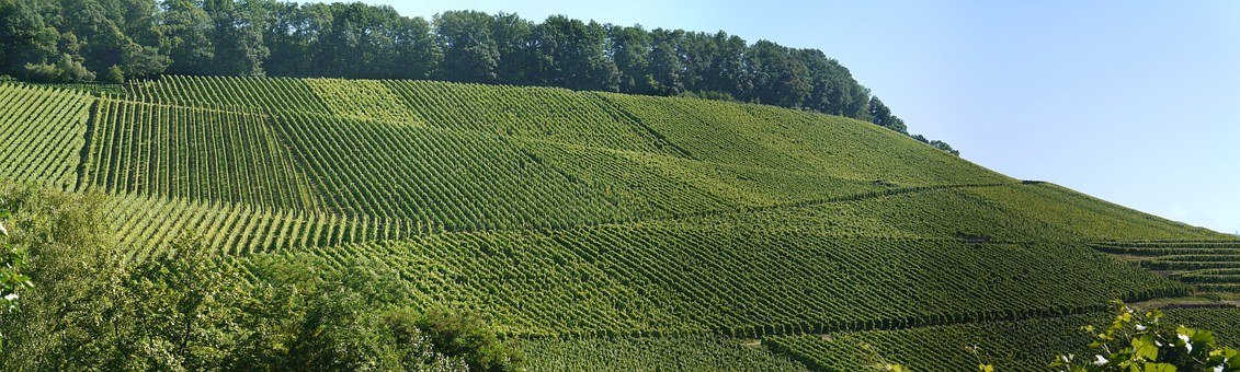 Panorama, Vineyards, South-facing Slope, Vines, View