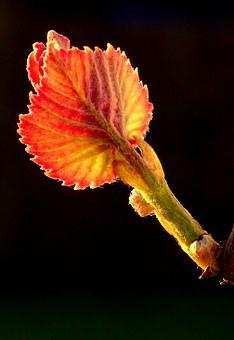 Spring, Grapevine, Bud, Engine, Wine, Plant, Vineyard