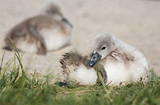 Swan, Young Animal, Animal, Clean, Water, Waters