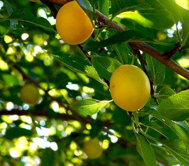 Fruit, Fruits, Yellow Plums, The Tree Grow, Mature