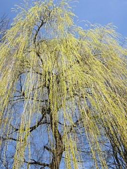 Weeping Willow, Pasture, Tree, Branches, Spring, Gold