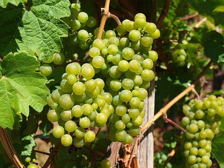 Wine, Mosel, Vines, Winegrowing, Vineyard, Vintage