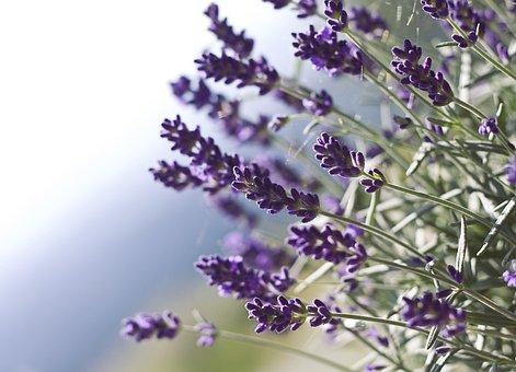 Lavender, Flower, Nature, Purple Flower