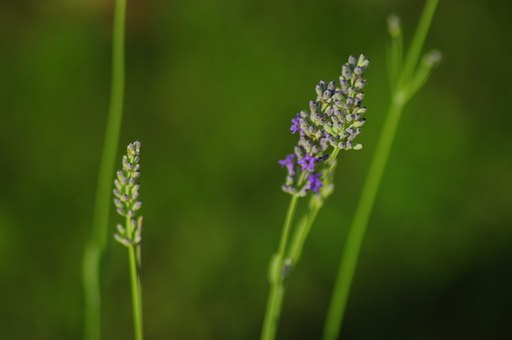 Lavender, Plant, Lavender In The Garden, Purple Flower