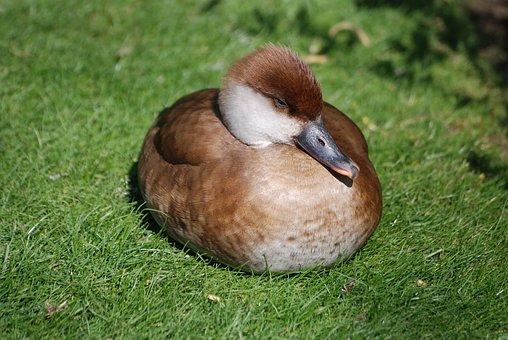 Pochard, Red Crested, Netta Rufina, Duck, Female